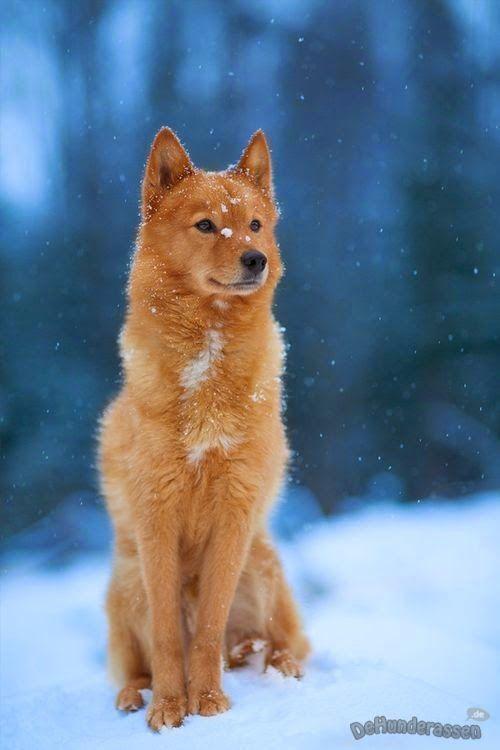 Wolf Finnisch