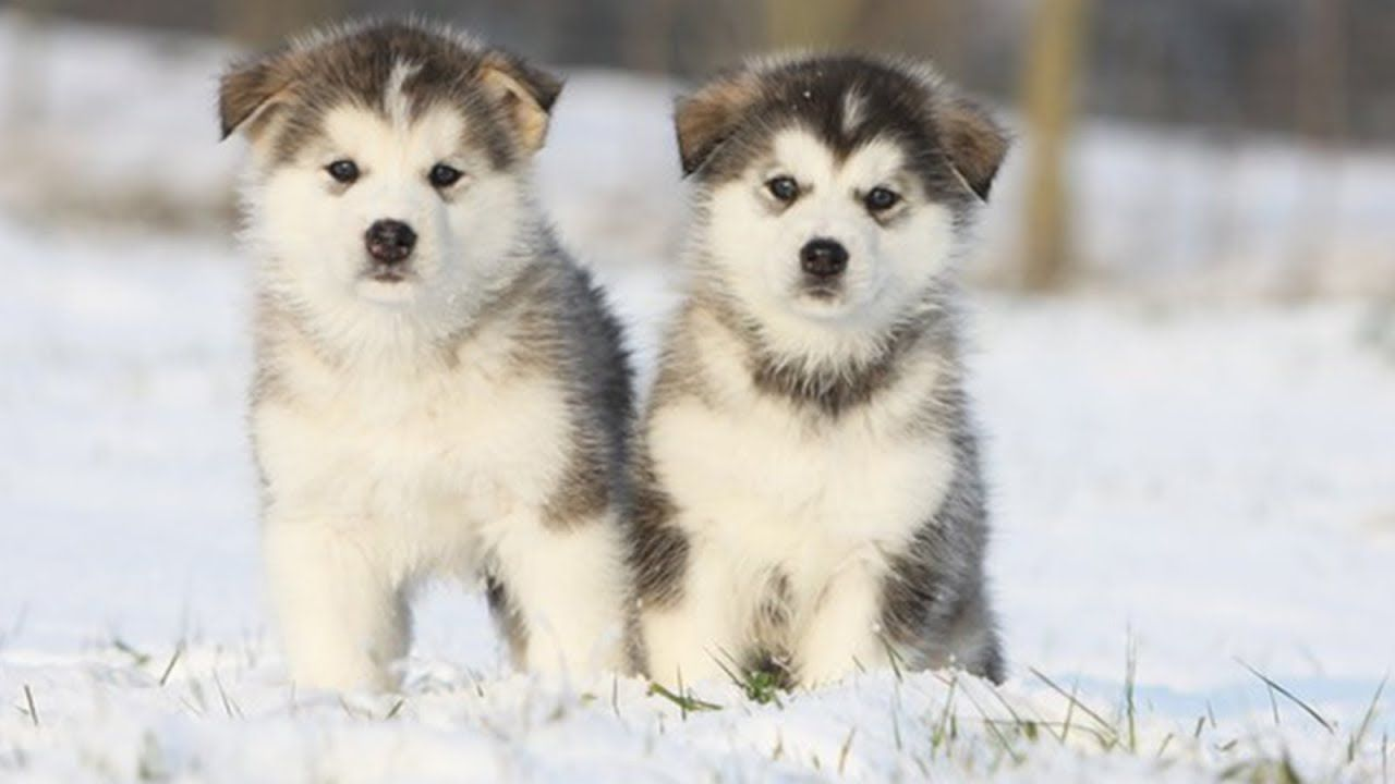 Funny And Cute Alaska Puppies Compilation Cutest Husky Dog Video