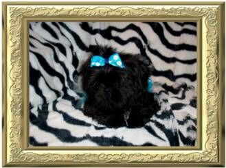 I'm an Tiny AKC Solid Black Shih Tzu puppy for sale w/ Black points
