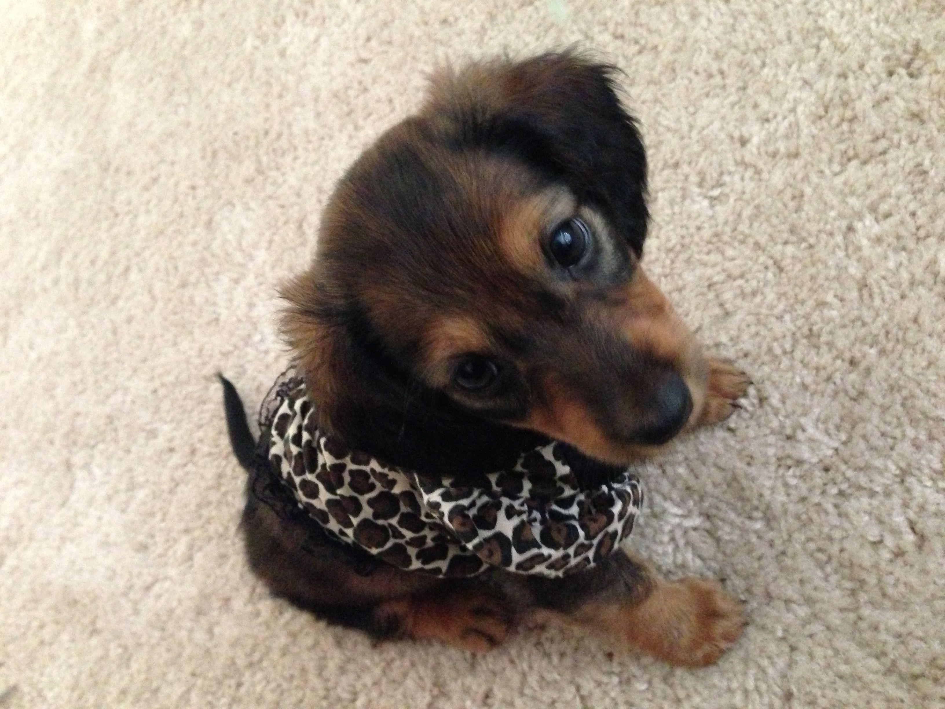 Long hair doxie puppy Dachshund love, Doxie puppies