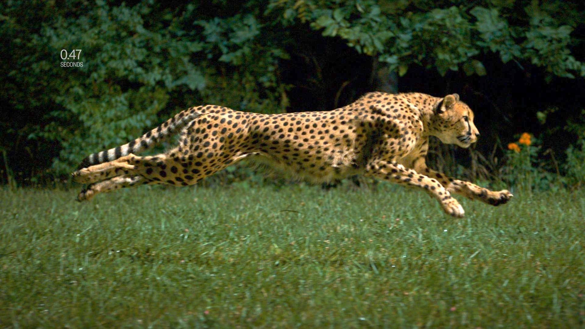 World S Fastest Runner Cheetah Video From National Geographic