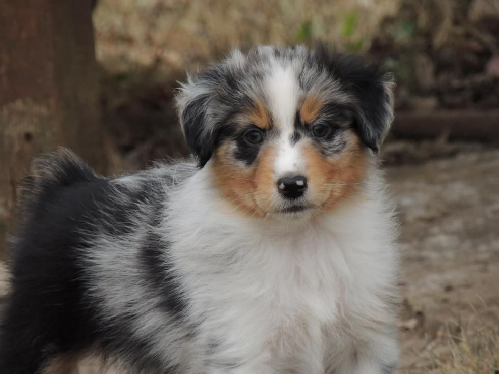 Australian Shepherd Puppies For Sale Oceanside Ca Australian