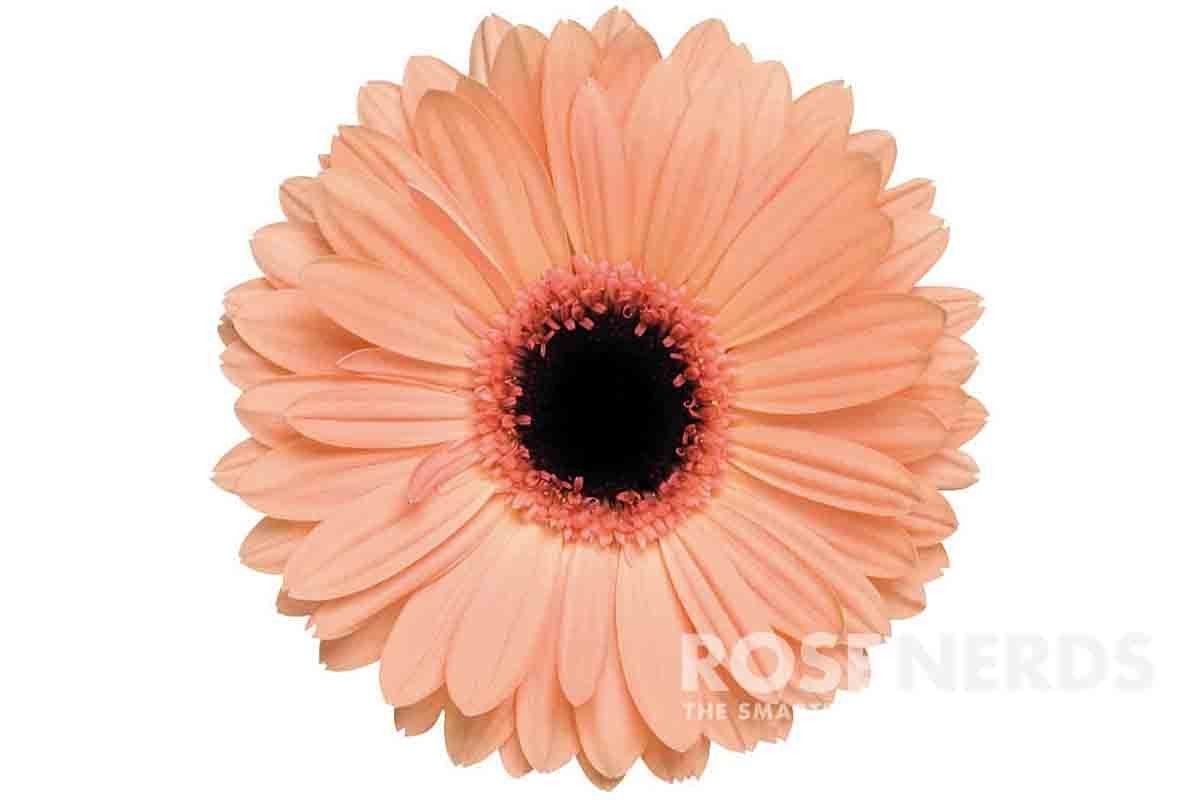 Wholesale peach gerbera daisies are the flowers youve been waiting wholesale peach gerbera daisies are the flowers youve been waiting for your upcoming wedding or special event this delicate peach variety offers a soft izmirmasajfo