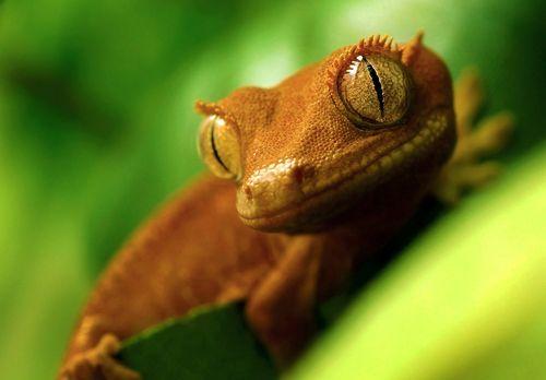 "Rhacodactylus ciliatus - Damien"" by Johanna Back ...im assuming flickr"