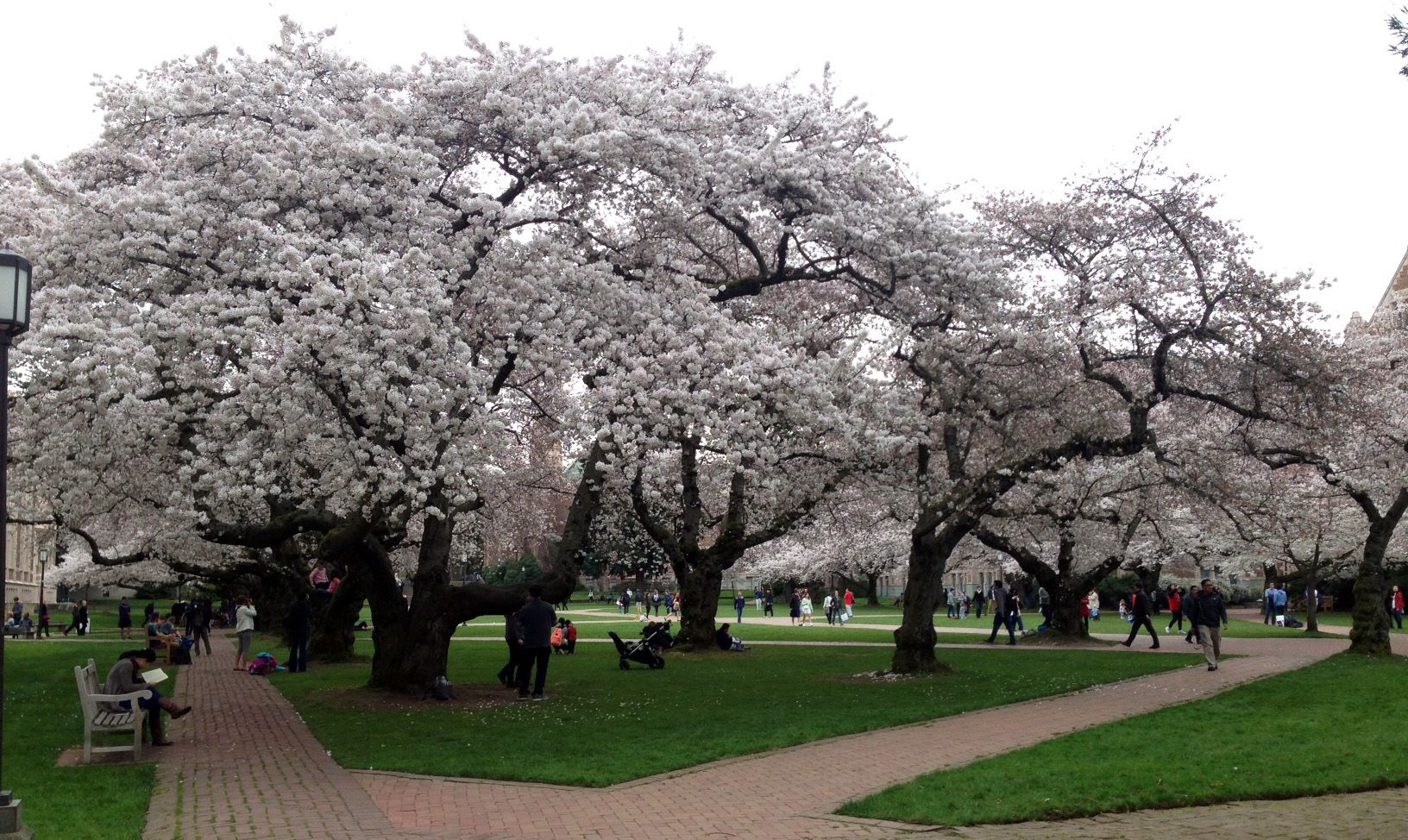 Seattle Must See Yoshinocherries Originate From Japan The Quad Trees Were First Planted Around 1939 At The Washingtonpa Flowering Trees Tree Flower Watch