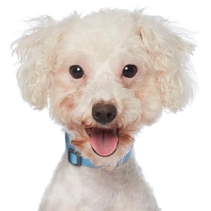 Poodle Miniature Dog For Adoption In West Hollywood Ca Adn
