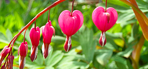 Bleeding Heart plant - stem with blossoms