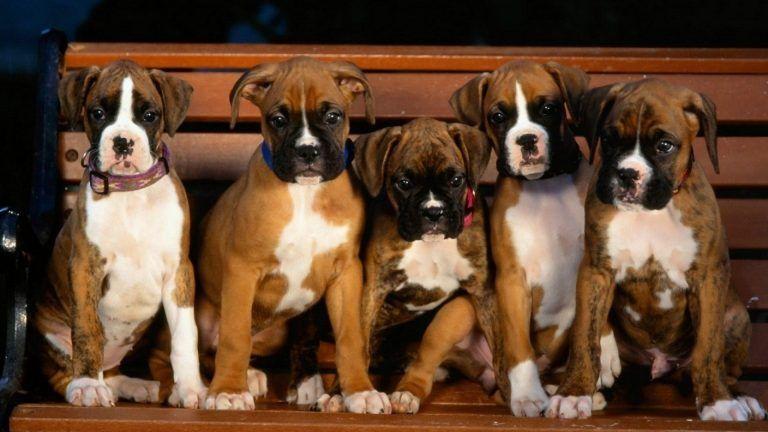 Boxer Dog Wallpaper Hd Boxer Puppies Boxer Dogs Dog Wallpaper