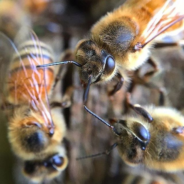 They say size isn't everything and thats definitely the case when it comes to the bees brain! A bee's brain is made up of about 950,000 highly specialized neurons and can complete complicated tasks that scientists feel should require a much larger brain #IQ #beebrain PC: @fromthehive