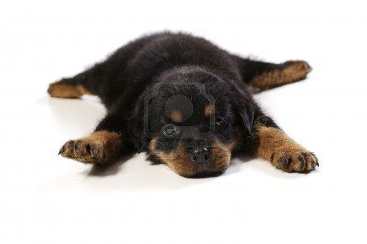 Stock Photo Rottweiler Puppies Rottweiler Puppies