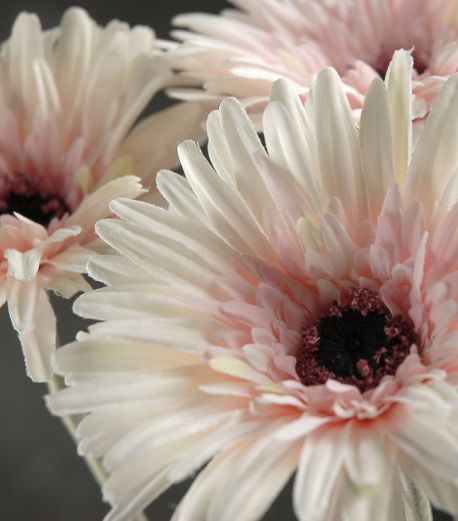 """White & Pink Gerber Daisies (4.5"""" flower heads) 12 for $22.68/ $1.89 each"""