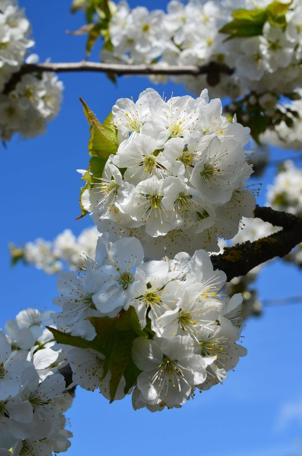 Blossoming Cherry Tree In My Garden In Germany Plant Blossoming Cherry Tree Garden Germany Photography Flowers Garden Gorgeous Gardens