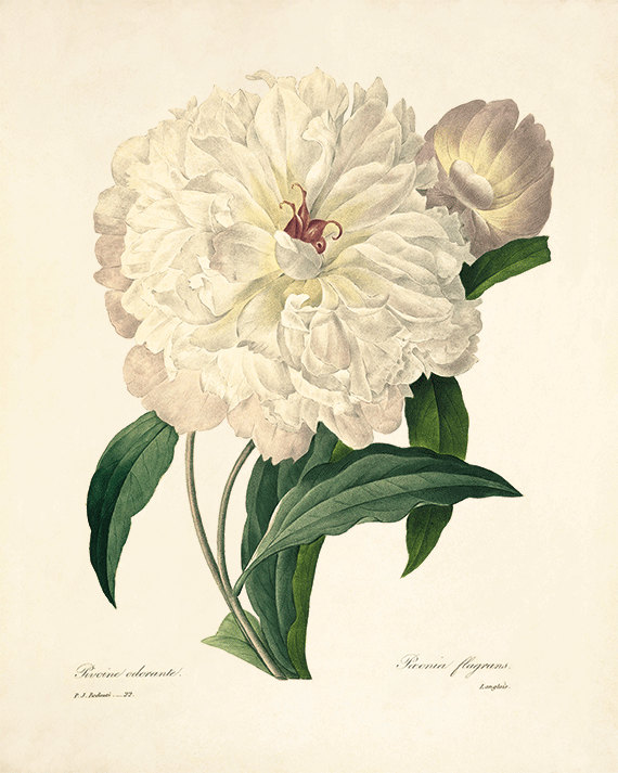 Peony Vintage Flower Art Print Antique Wall By Victorianwallart Flower Prints Art Peony Art Botanical Art