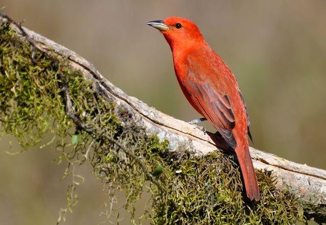 Foto sanhaçu-de-fogo (Piranga flava) por Dario Lins | Wiki Aves - A Enciclopédia das Aves do Brasil