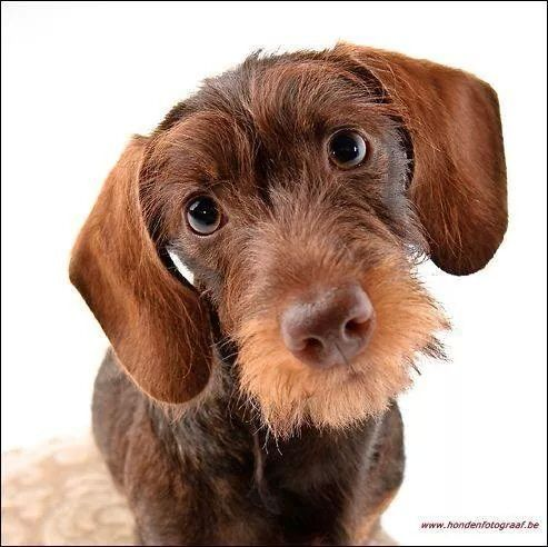 Pin By Nicola Thomas On Dogs Pinterest Dachshunds Dog And