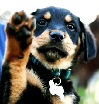 Golden Retriever Rottweiler Mix Puppies Adorable Pinterest