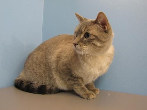 Did Cashmere Catch Your Eye This Beautiful Feline Is Eager To Find Her Forever Home Humane Society Pet Adoption Feline