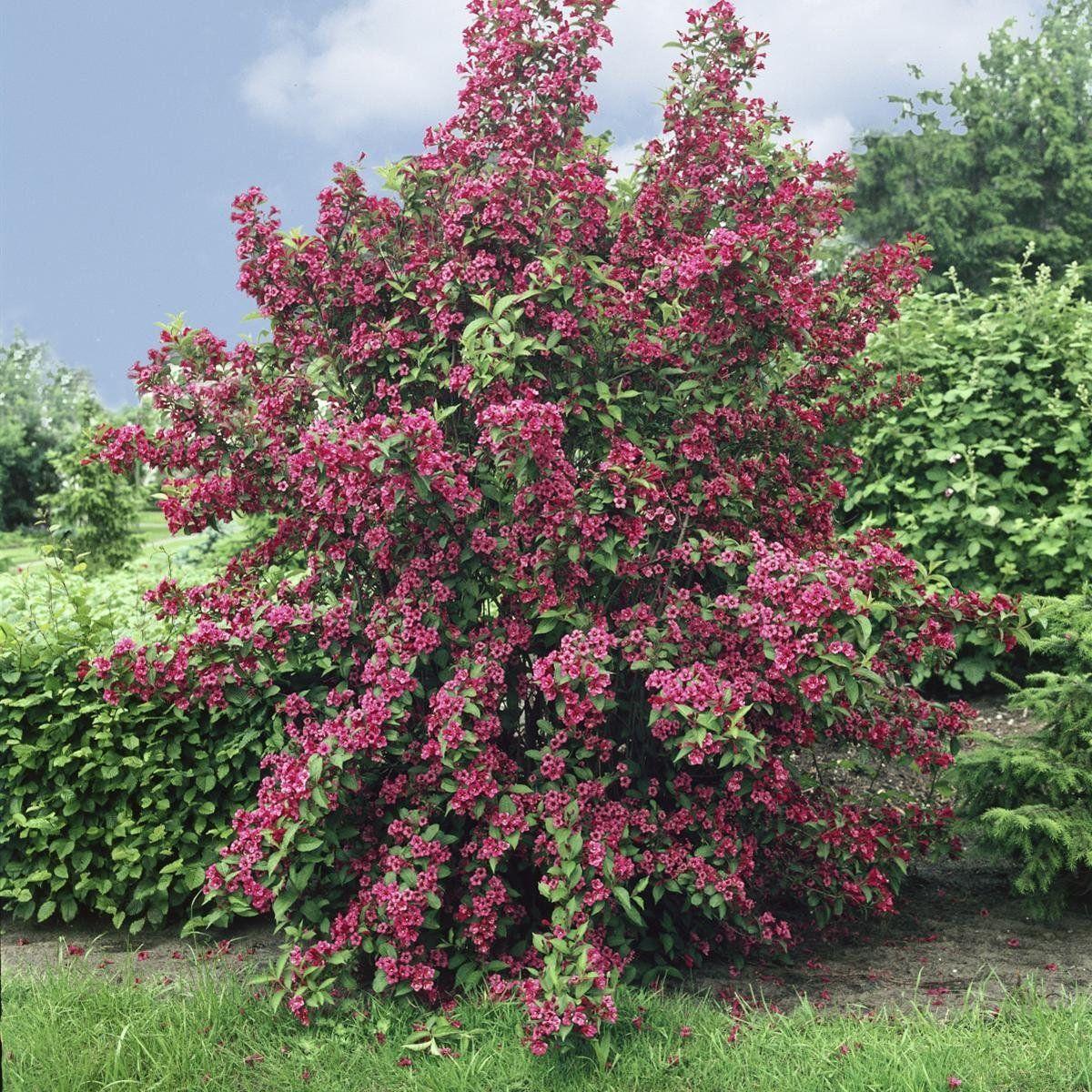 Weigelie Bristol Ruby rot blühend 1 Strauch Amazon Garten
