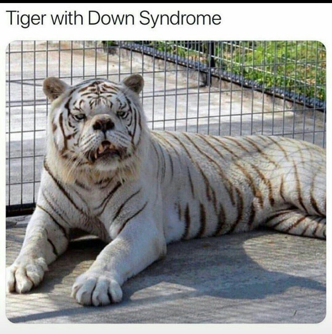 Tigers white in 2020 Down syndrome, Tiger, Animals