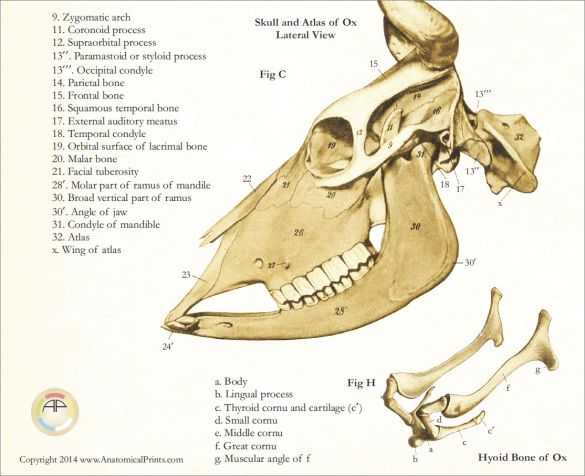 Cow Skull Anatomy Poster  18
