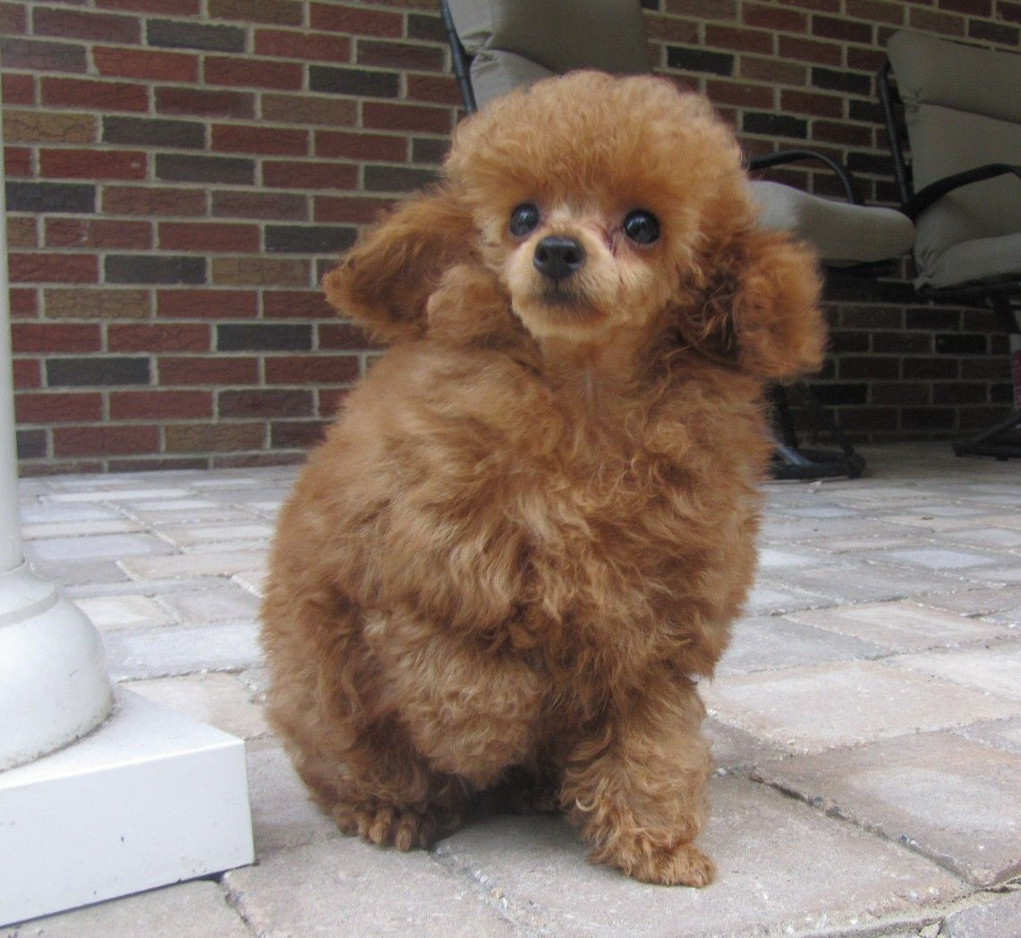 Red Tiny Toy Poodle Puppies For Sale, Black Teacup Poodles