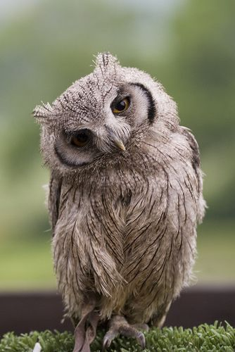 Image of: Funny Doesnt This One Look Like Shes Just Been Asked To Dance Pinterest Baby Scops Owl Birds Pinterest Owl Cute Animals And Beautiful Owl