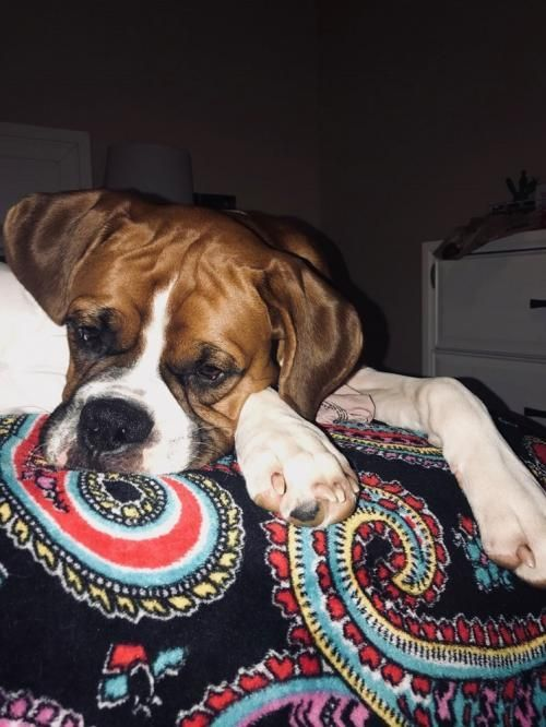 Adopt Toby On Petfinder Dogs Adoption Boxer Dogs