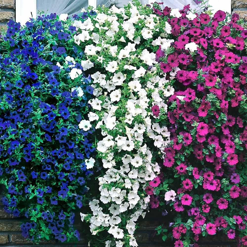 Surfinia Trailing Single Flowering Collection J Parker Dutch