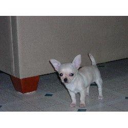 Chihuahua Rescue Nc Beaus Chihuahua Pups Chihuahua Breeder In