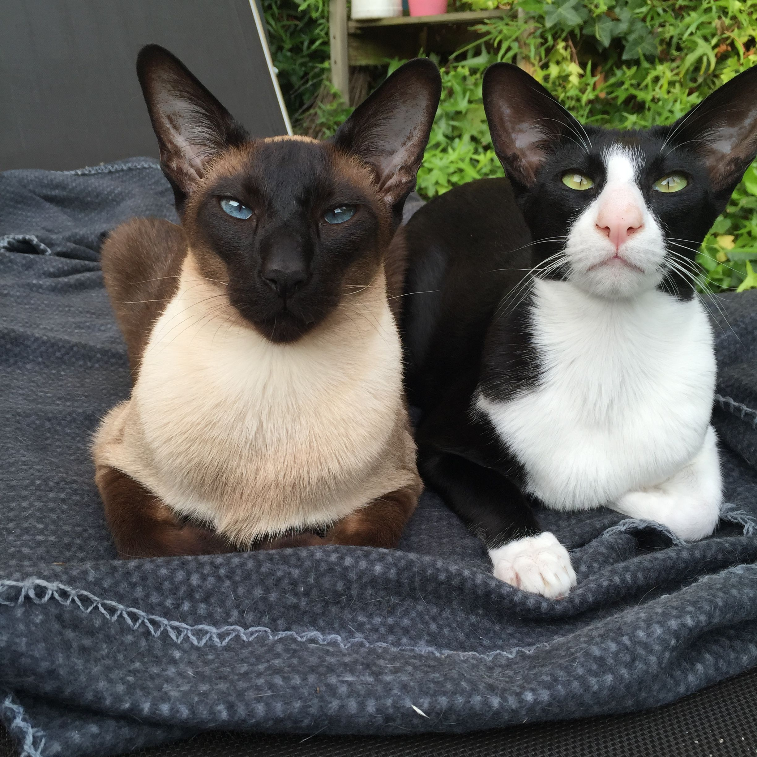 Siamese And Oriental Shorthair Oriental Shorthair Cats Cats Tonkinese Cat