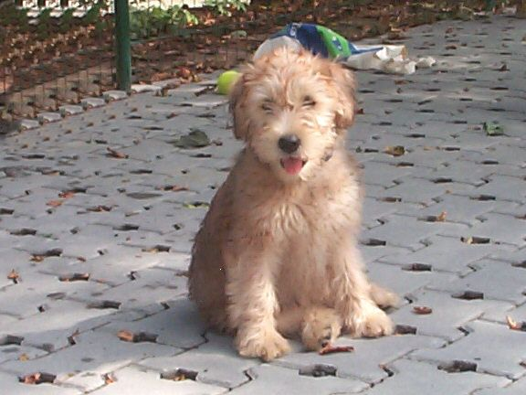 Soft Coated Wheaten Terrier Pets And Animals Pictures Dog Lion