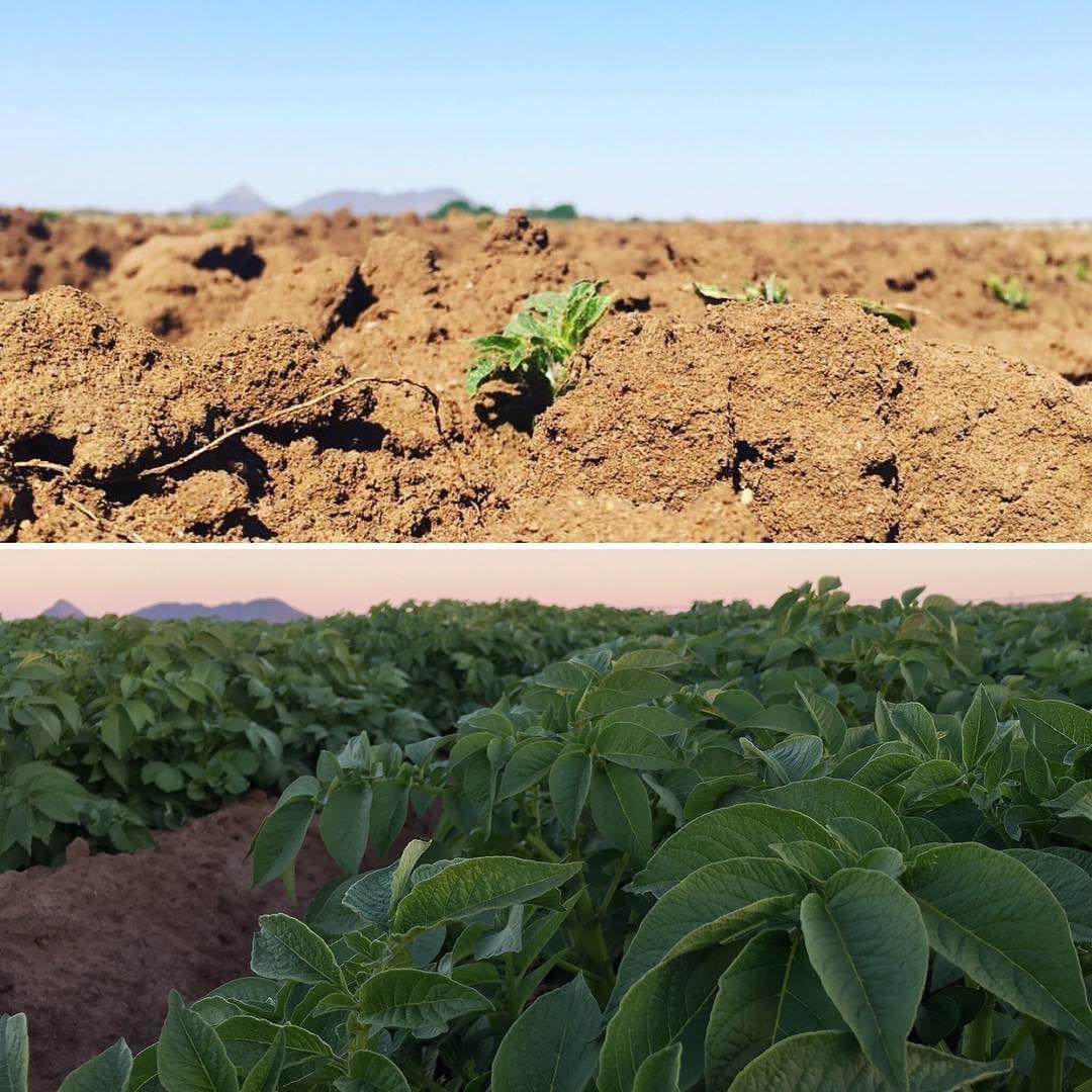 They grow up so fast! Photos taken 23 days apart  Little Mr Potato plant has been busy!  #potatofarm #potatofield #farmLife #farm #al3boerdery #grow #timeflies #boer #boerdery #plaasIsBaas #leweVanNBoer Shop Now for one of a kind handmade clothing. Matching Mommy Me Outfits