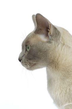 Cat Breeds Burmese Royal Canin Cat Breeds Cat Profile Burmese Cat