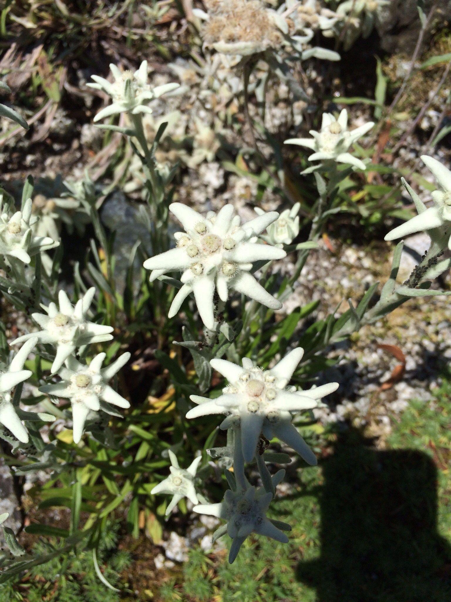My favorite alpine flower. Photo by Sonja