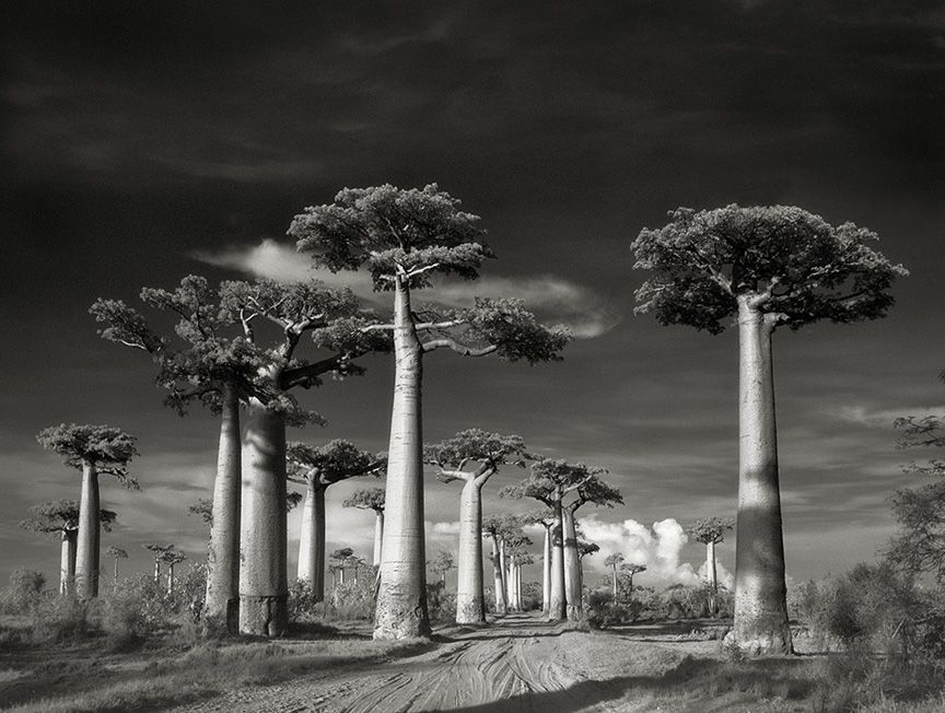 Beth Moon - Ancient Trees: Portraits of Time, 2001-2015 Avenue of the Baobabs