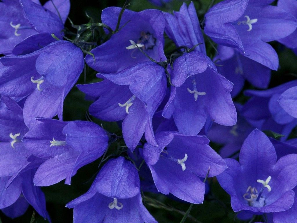 Stock photo a cluster of blue bell like flowers in a summer garden - Blue Bells Wallpapers And Images Wallpapers Pictures Photos