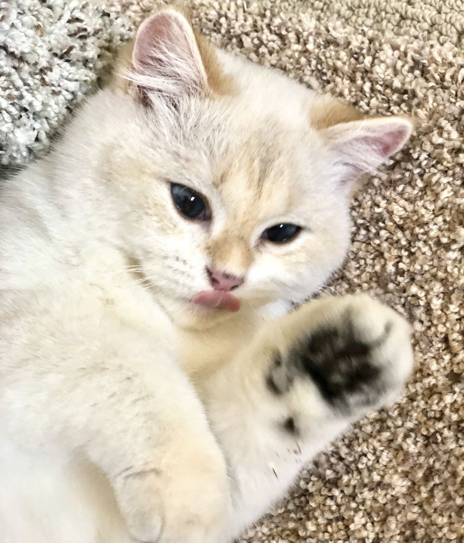 Munchkin Cats For Sale San Diego Ca In 2020 Munchkin Cat