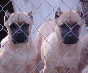 Cane Corso Puppies For Sale In Ohio Cane Corso Cane Corso Puppies Puppy Litter