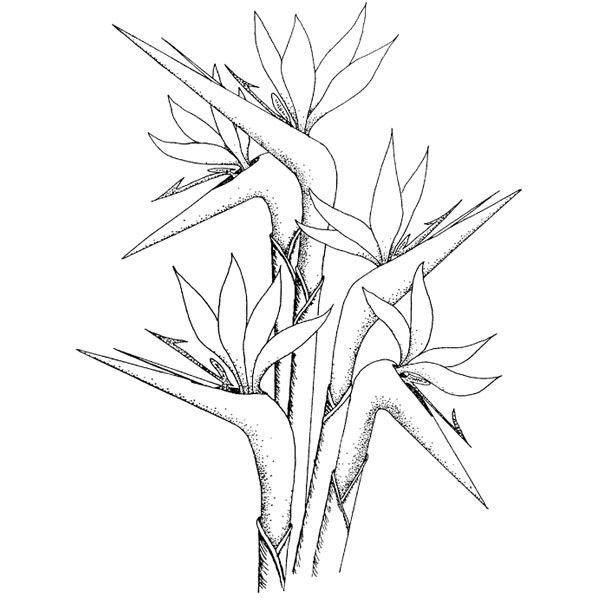 Bird Of Paridise Coloring Flower Line Drawings Bird Drawings Drawings