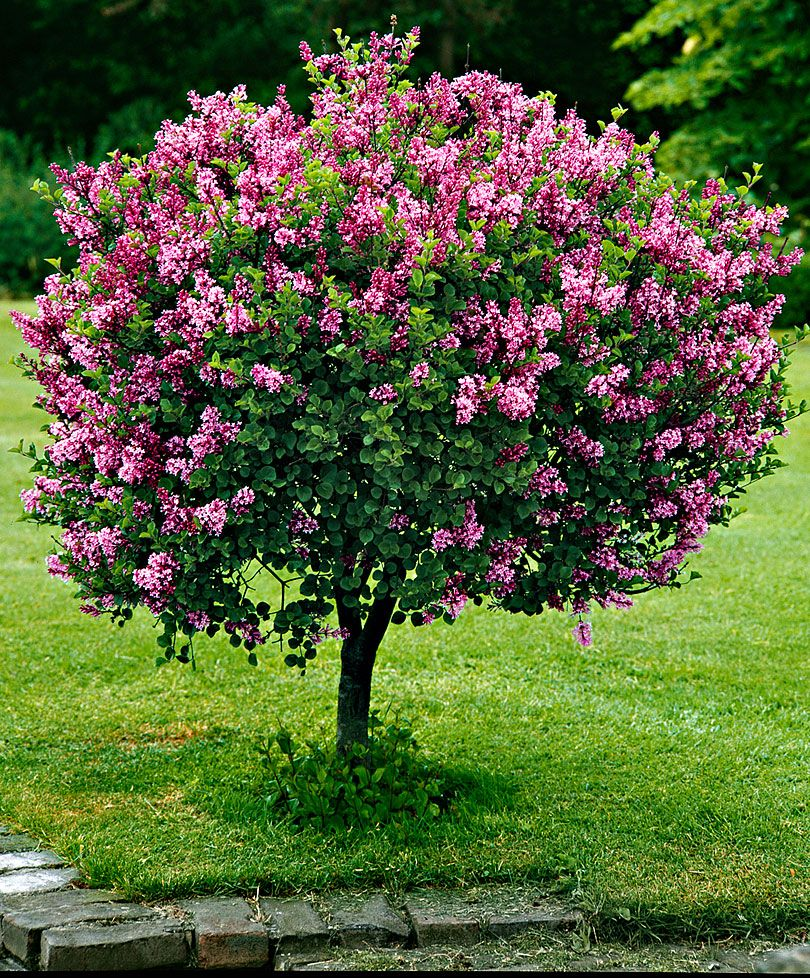 Dwarf standard lilac trees and shrubs from spalding bulb for Flowering dwarf trees for landscaping