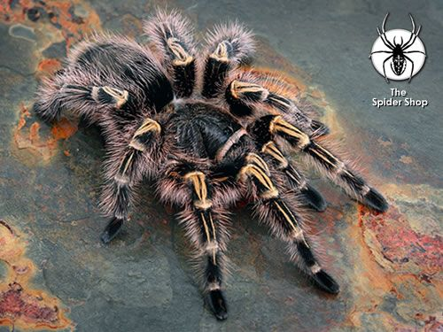 If I could have any Tarantula I'd get a Chaco Golden Knee. (Grammostola pulchripes)
