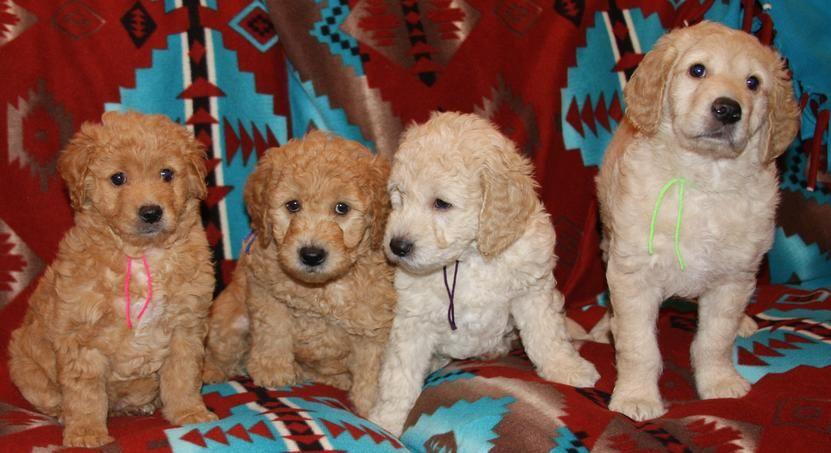Poodle puppies nebraska