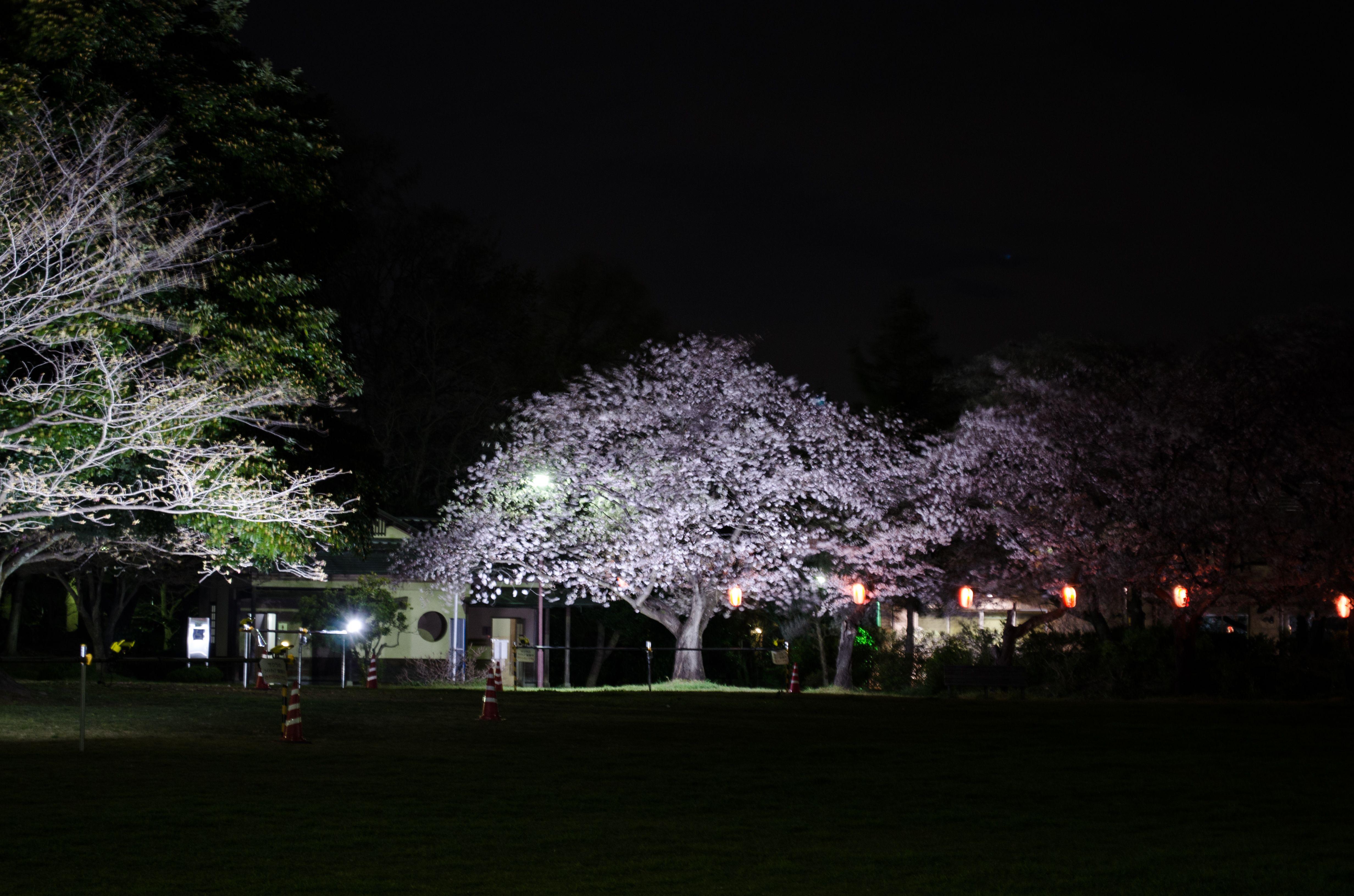 行田市水上公園 夜桜