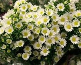 Aster Mardis Gras White Spray Asters Asters Flowers By Category Sierra Flower Finder Flower Bouquet Wedding Cheap Wedding Flowers Flowers Bouquet