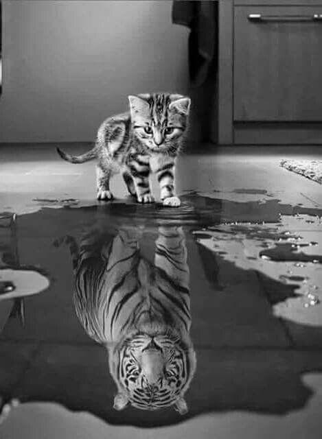 Kitten, tiger reflection