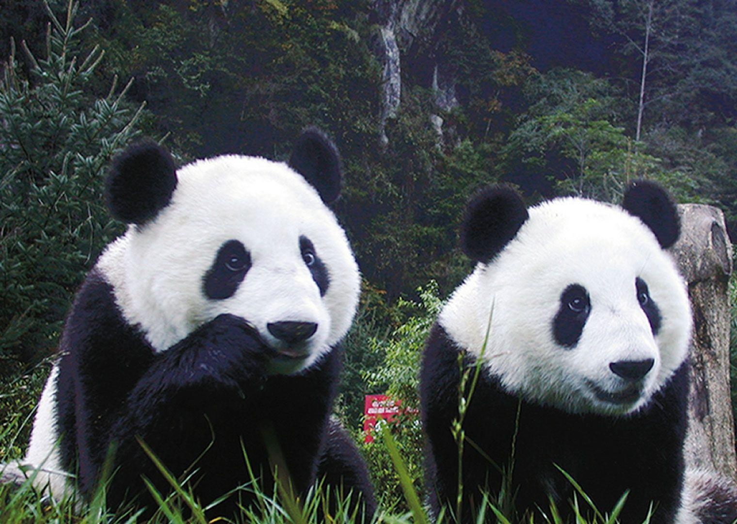 「panda‼」おしゃれまとめの人気アイデア|Pinterest |Angie パンダクマ、ジャイアントパンダ