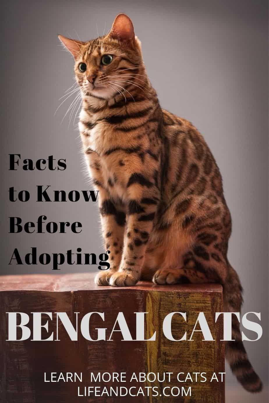 The Bengal Cat Wild Or Mild Life Cats In 2020 Bengal Cat Cats Cat Breeds