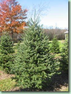 Cannan Fir Are A Close Relative Of The Balsam From The Cannan Valley In West Virginia They Tend M Tree Farms Types Of Christmas Trees Christmas Tree Varieties