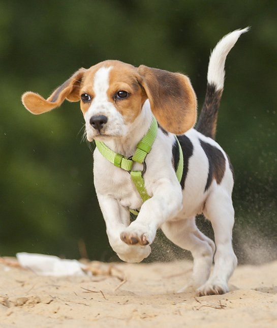 20 Most Popular Dog Breeds In America Beagle Dog Most Popular