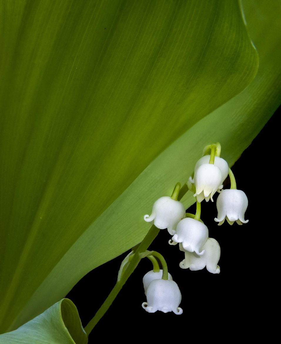 lily of the valley convallaria majalis gerry lily of the valley convallaria majalis gerry legere 500px izmirmasajfo